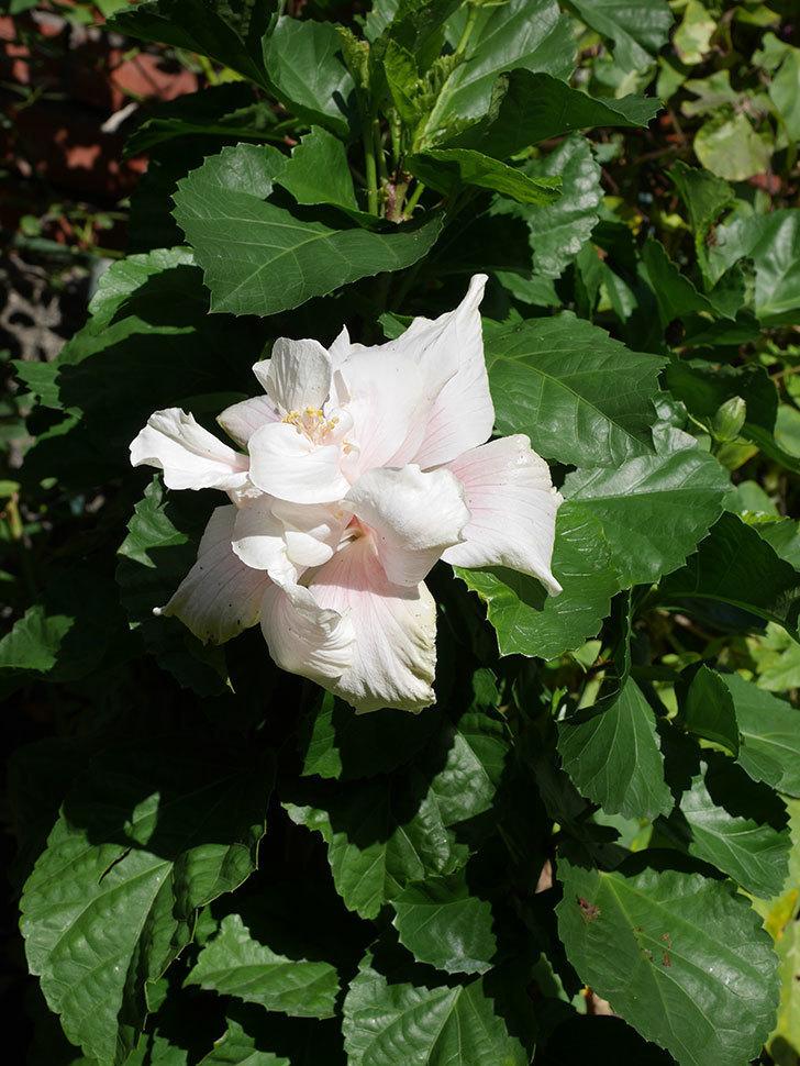 白いハイビスカスに大きい花が咲いた。2020年-006.jpg
