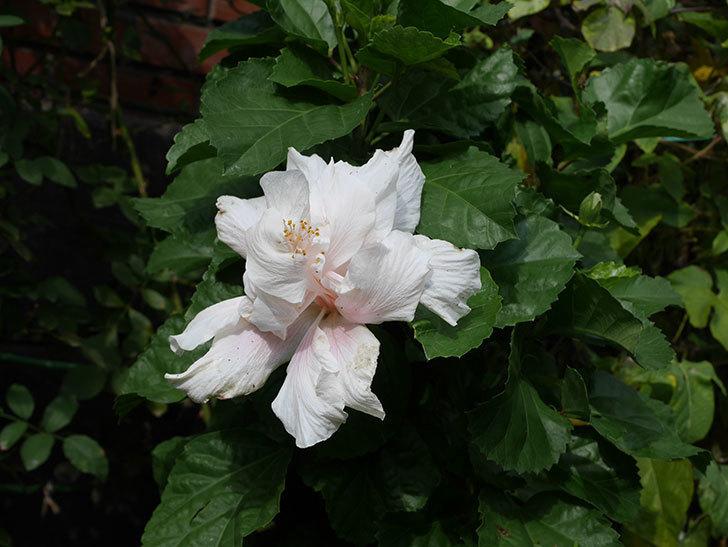 白いハイビスカスに大きい花が咲いた。2020年-007.jpg