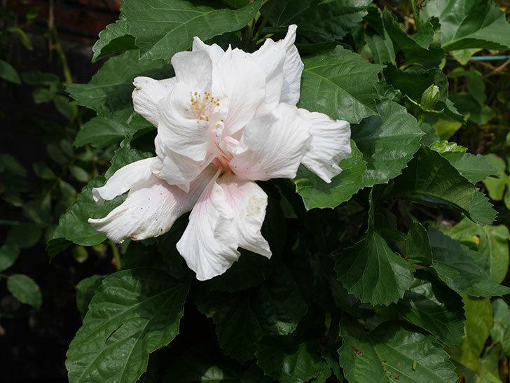 白いハイビスカスに大きい花が咲いた。2020年-008.jpg