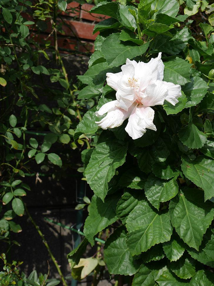 白いハイビスカスに大きい花が咲いた。2020年-014.jpg