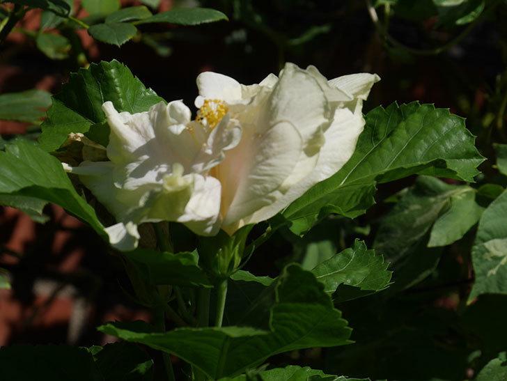 白いハイビスカスの花が咲いた。2020年-001.jpg