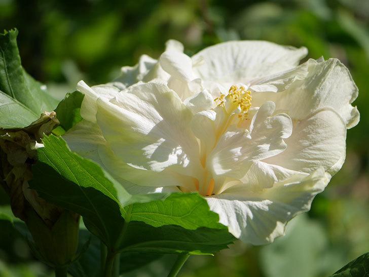 白いハイビスカスの花が咲いた。2020年-004.jpg