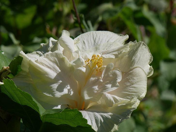 白いハイビスカスの花が咲いた。2020年-005.jpg