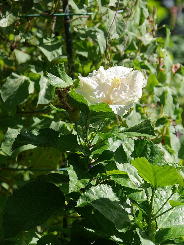 白いハイビスカスの花が咲いた。2020年-008.jpg