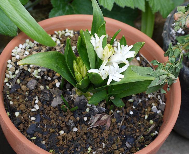 白いヒヤシンスが咲いた。微妙な花だけど。2016年-1.jpg