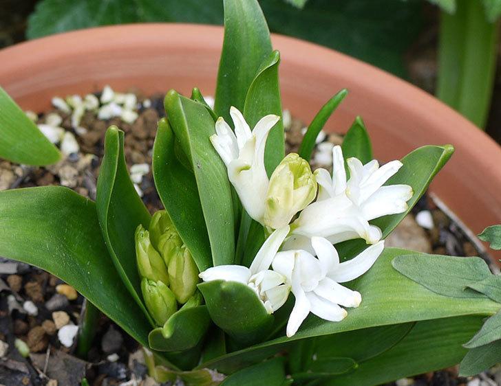 白いヒヤシンスが咲いた。微妙な花だけど。2016年-2.jpg