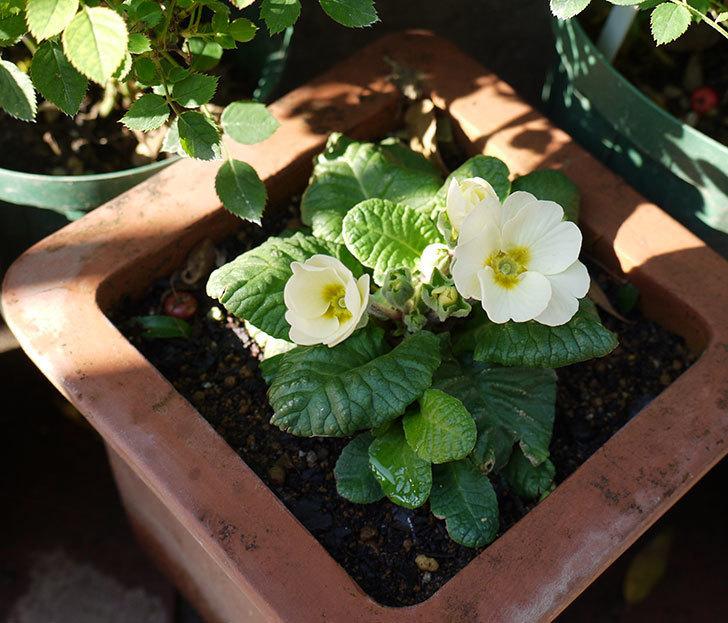 白いプリムラ・ジュリアンが咲いた。2016年-1.jpg
