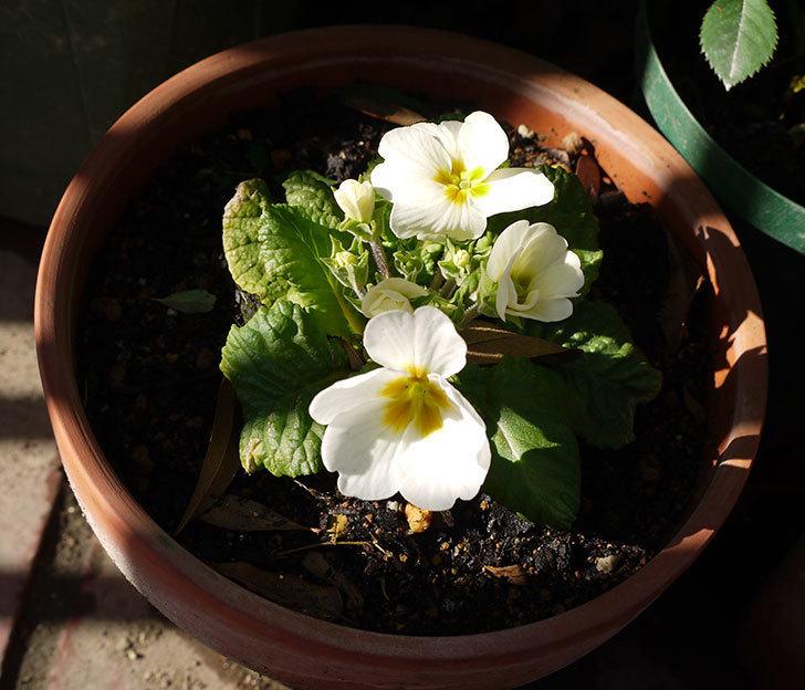 白いプリムラ・ジュリアンが咲いた。2016年-3.jpg