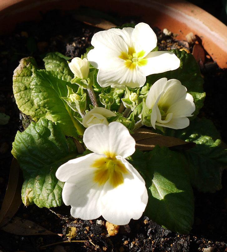 白いプリムラ・ジュリアンが咲いた。2016年-4.jpg