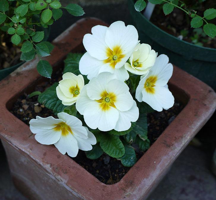 白いプリムラ・ジュリアンの花が増えてきた。2016年-1.jpg