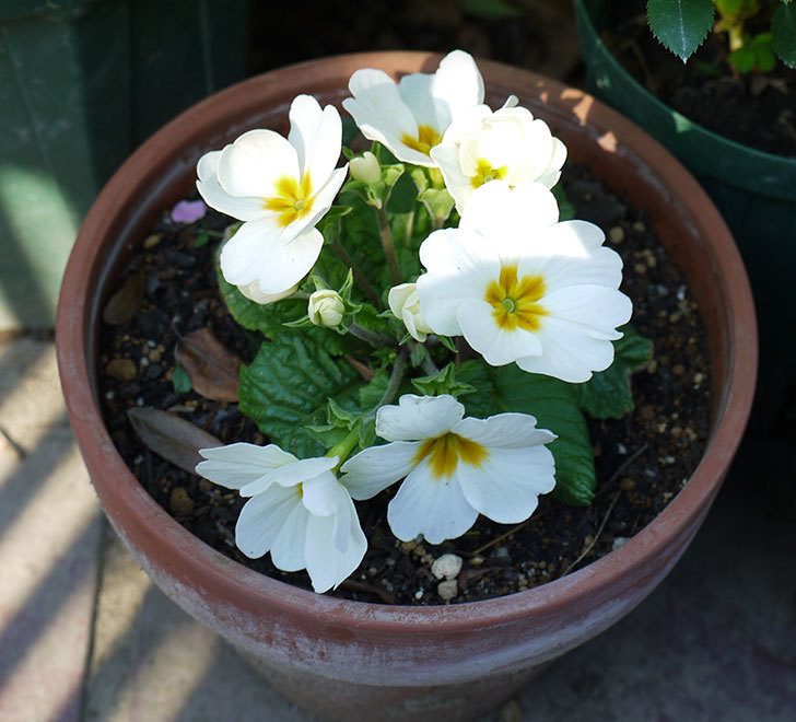 白いプリムラ・ジュリアンの花が増えてきた。2016年-2.jpg