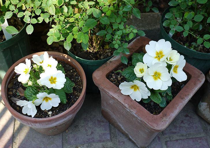 白いプリムラ・ジュリアンの花が増えてきた。2016年-3.jpg