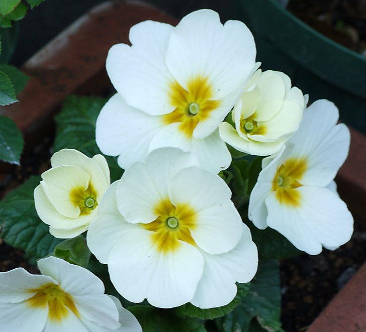 白いプリムラ・ジュリアンの花が増えてきた。2016年-4.jpg