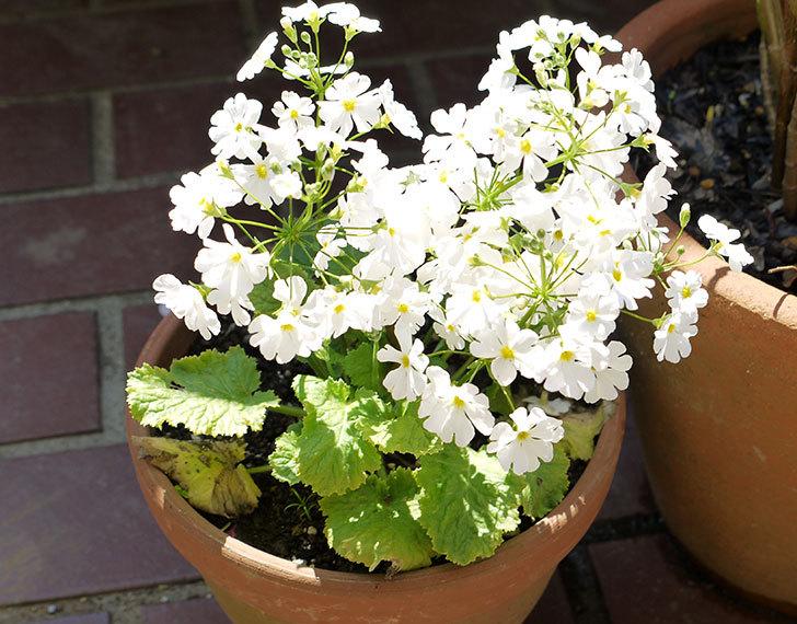 白いプリムラ・マラコイデス(メラコイデス)が咲いた1.jpg
