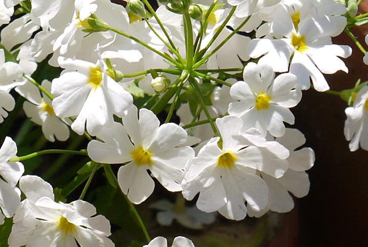 白いプリムラ・マラコイデス(メラコイデス)が咲いた3.jpg