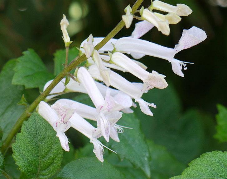 白いプレクトランサスの花が咲いた。2016年-3.jpg