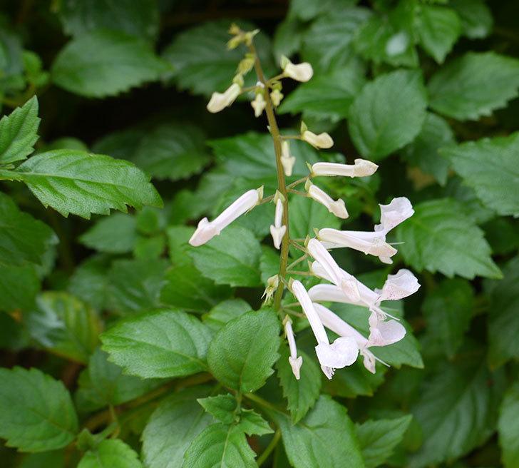 白いプレクトランサスの花が咲いた。2016年-5.jpg