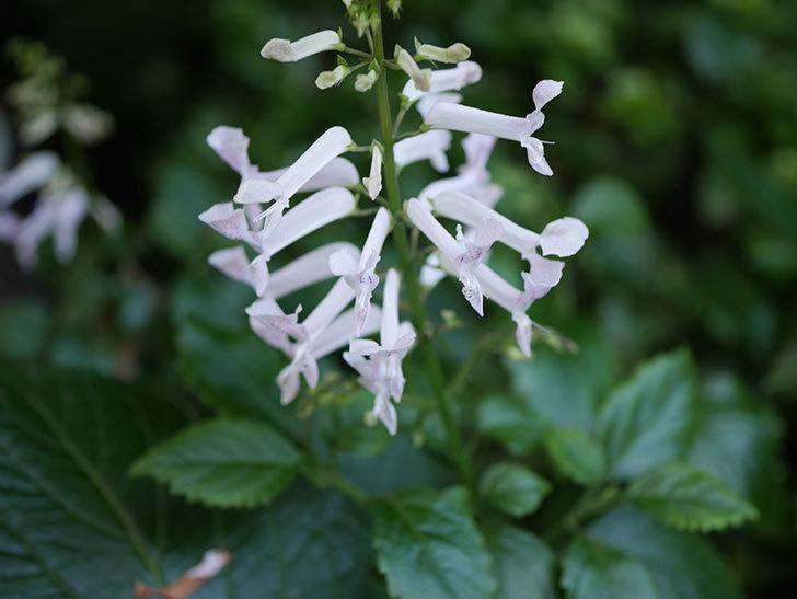 白いプレクトランサスの花が咲いた。2020年-003.jpg