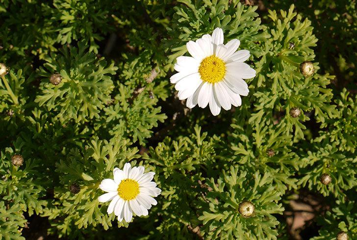 白いマーガレットが咲き始めた1.jpg
