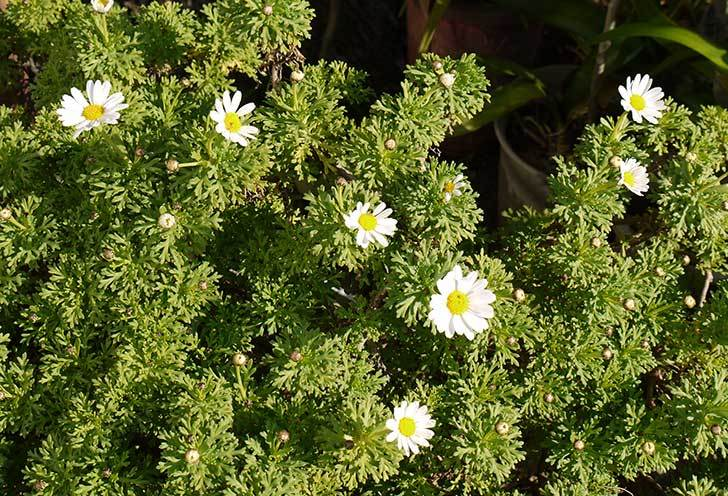 白いマーガレットが咲き始めた2.jpg