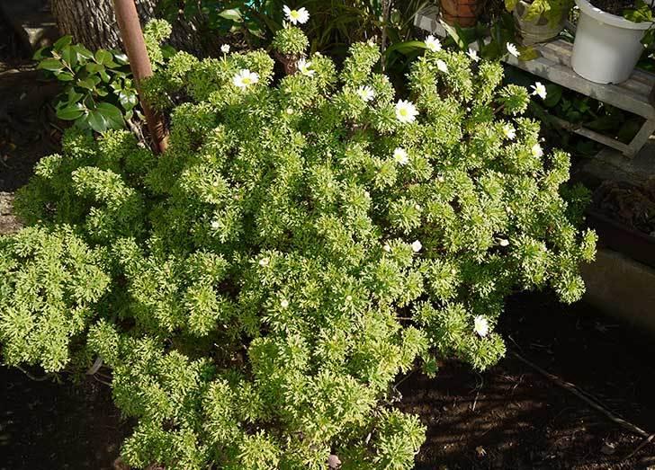 白いマーガレットが咲き始めた3.jpg