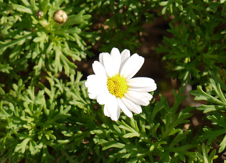 白いマーガレットが咲き始めた。2015年12月-1.jpg