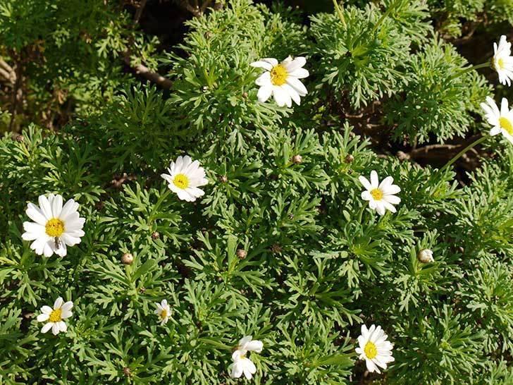 白いマーガレットが咲き始めた。2015年12月-2.jpg