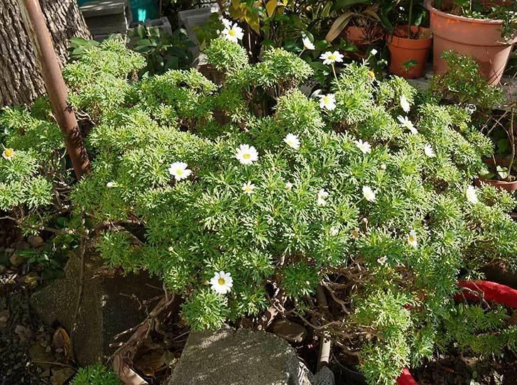 白いマーガレットが咲き始めた。2015年12月-3.jpg