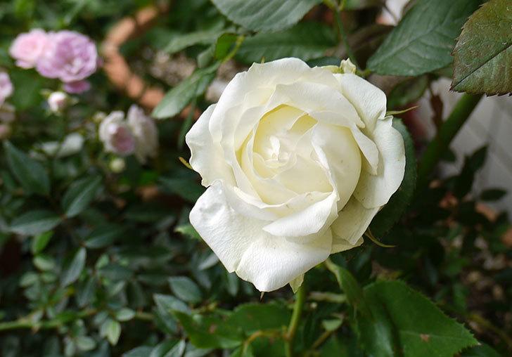 白いミニバラが咲いた。2016年-1.jpg