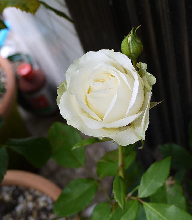 白いミニバラが咲いた。2016年-2.jpg