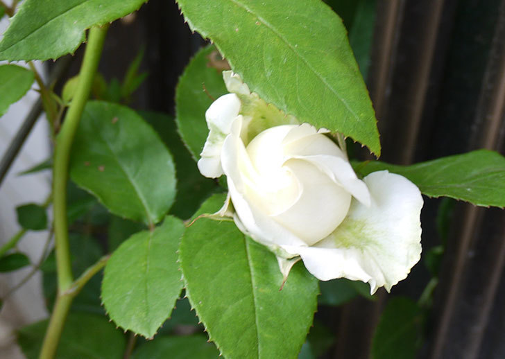 白いミニバラが咲いた。2016年-3.jpg