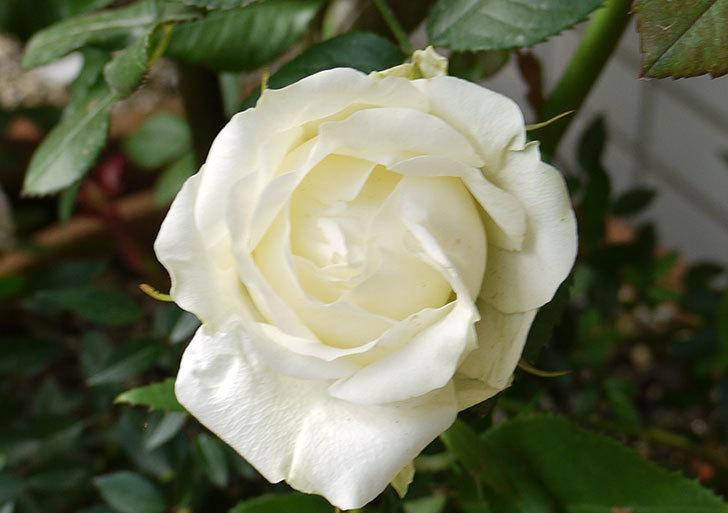 白いミニバラが咲いた。2016年-4.jpg