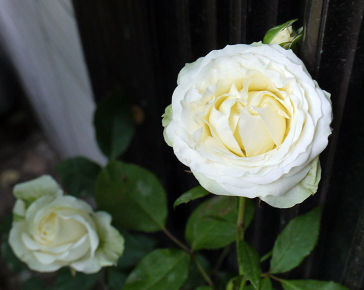 白いミニバラが綺麗に咲いた。2016年-1.jpg