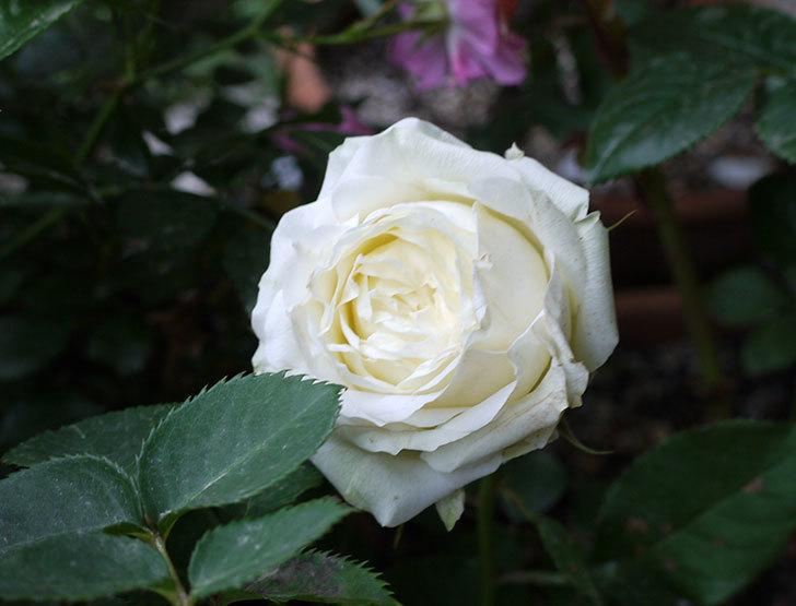 白いミニバラが綺麗に咲いた。2016年-3.jpg