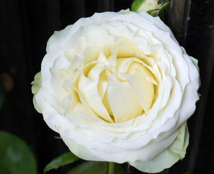 白いミニバラが綺麗に咲いた。2016年-5.jpg
