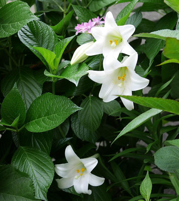 白いユリが3個咲いた。2019年-1.jpg