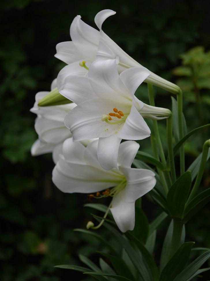 白いユリがたくさん咲いた。2020年-004.jpg