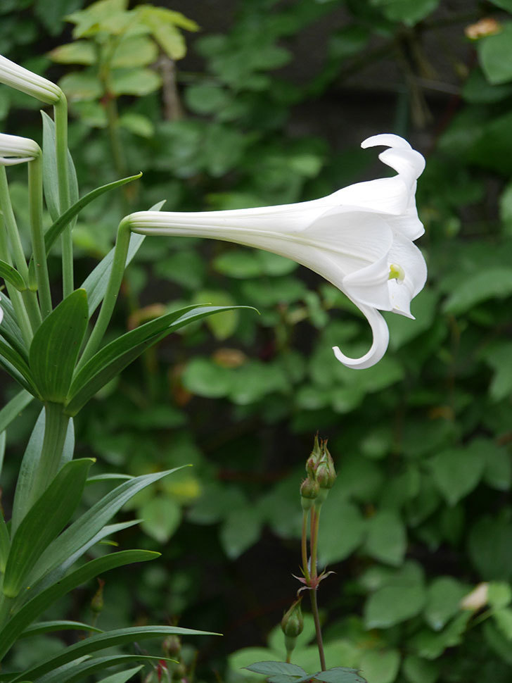 白いユリがたくさん咲いた。2020年-005.jpg