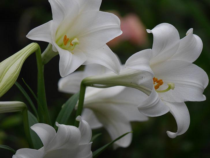 白いユリがたくさん咲いた。2020年-006.jpg