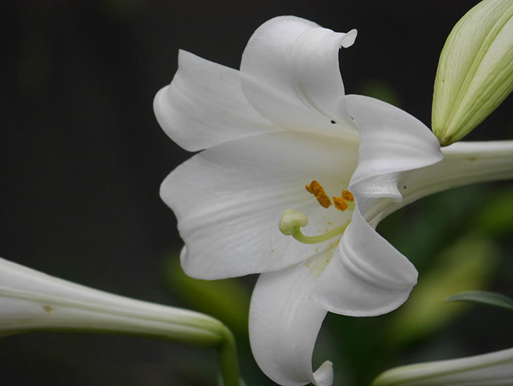 白いユリがたくさん咲いた。2020年-007.jpg
