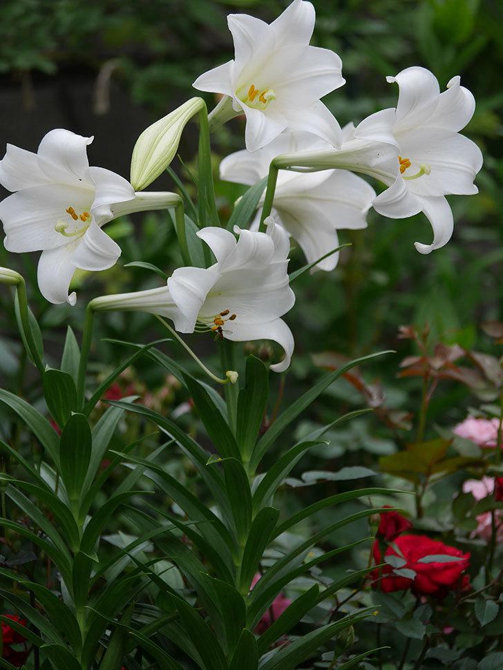 白いユリがたくさん咲いた。2020年-009.jpg
