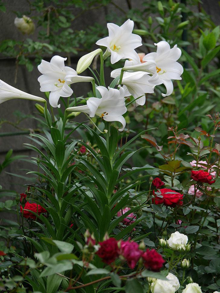 白いユリがたくさん咲いた。2020年-010.jpg