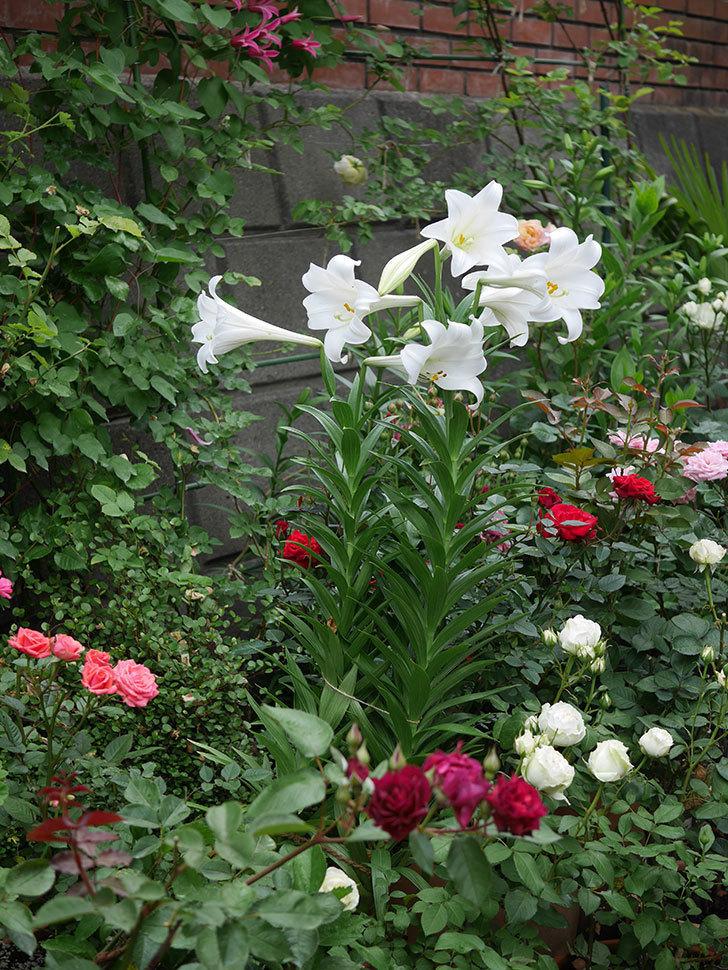 白いユリがたくさん咲いた。2020年-016.jpg