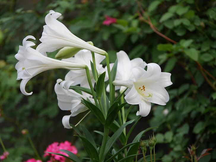 白いユリがたくさん咲いた。2020年-017.jpg