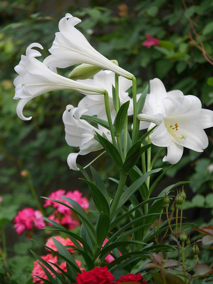 白いユリがたくさん咲いた。2020年-018.jpg