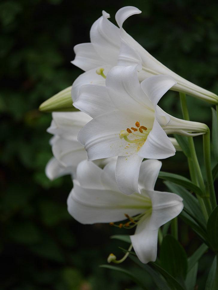 白いユリがたくさん咲いた。2020年-019.jpg