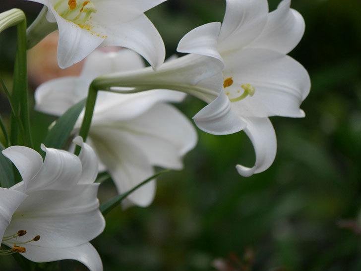 白いユリがたくさん咲いた。2020年-023.jpg