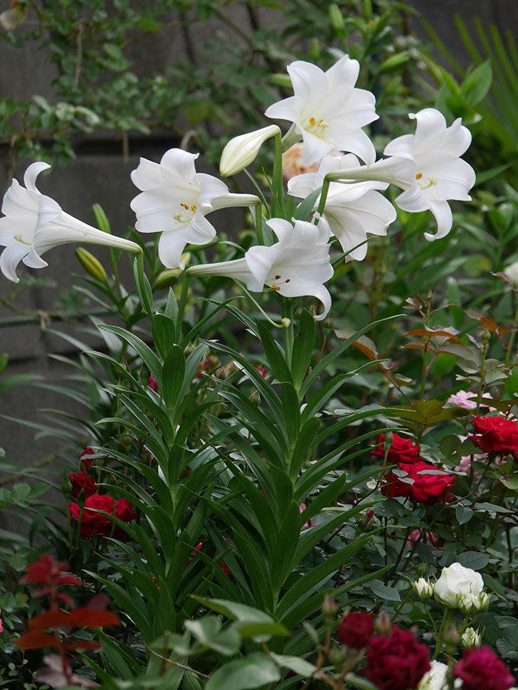 白いユリがたくさん咲いた。2020年-024.jpg