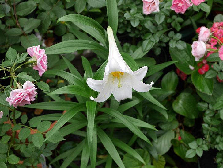 白いユリが咲いた。2018年-2.jpg