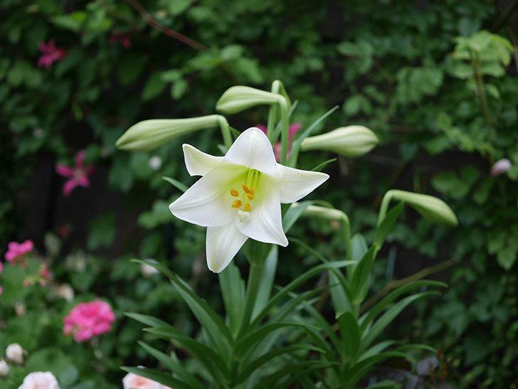 白いユリが咲いた。2020年-011.jpg
